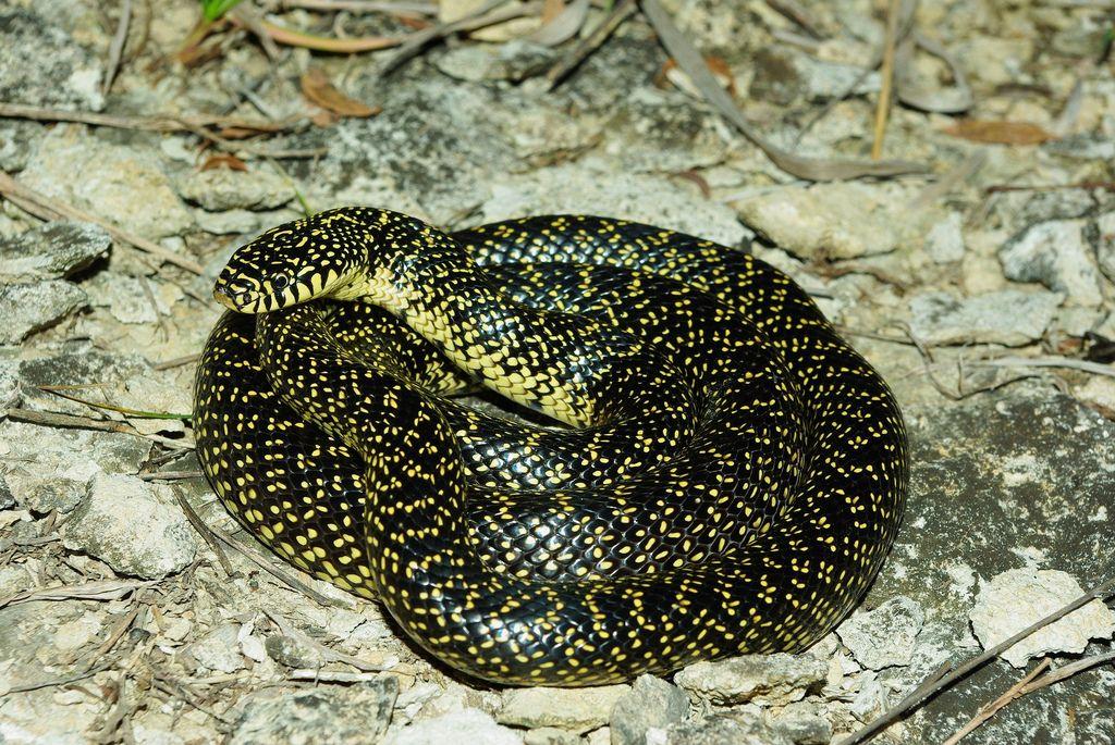 Speckled Kingsnake Lampropeltis getula holbrooki