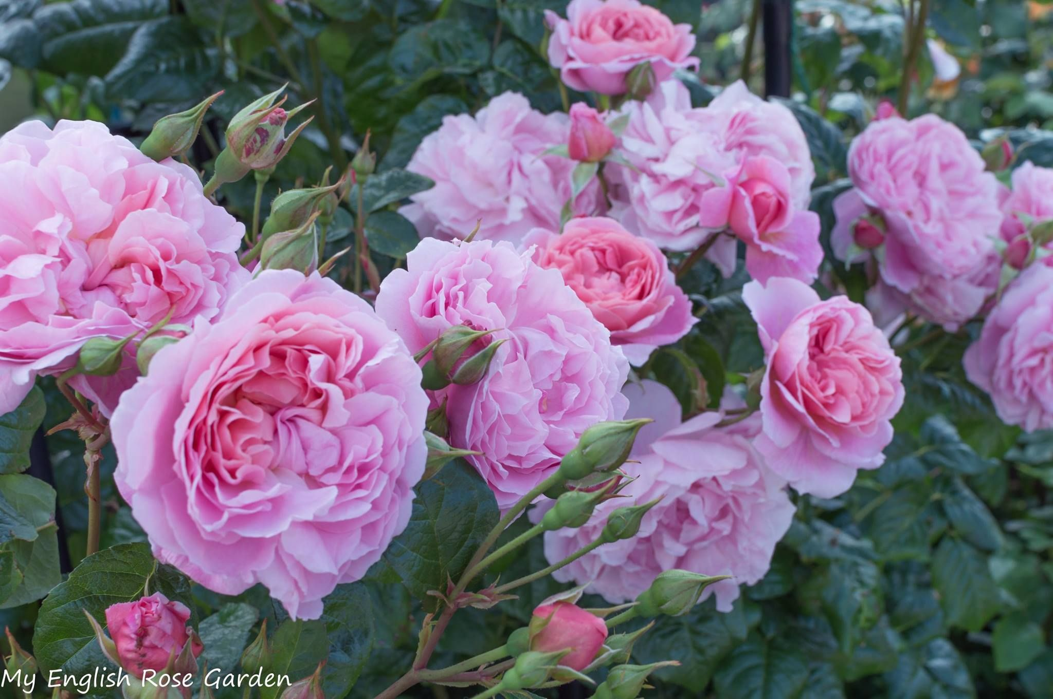 Strawberry Hill Roses And Flowers Pinterest Strawberry Hill