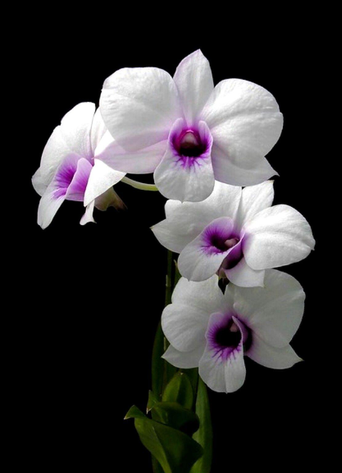 Dendrobium Bigibbum Var Compactum Rare Orchids Orchids Rare Flowers