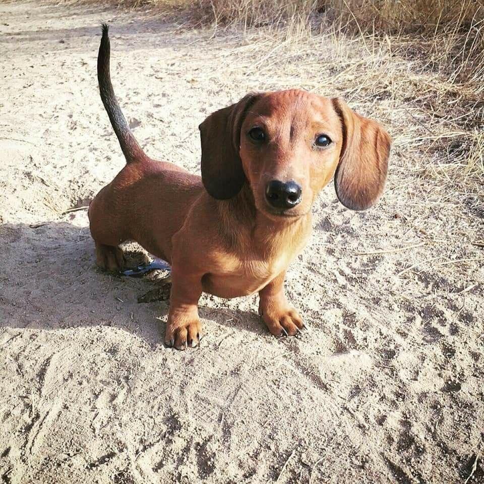 Dachshund Puppy Baby Dachshund Dachshund Love Cute Funny Dogs