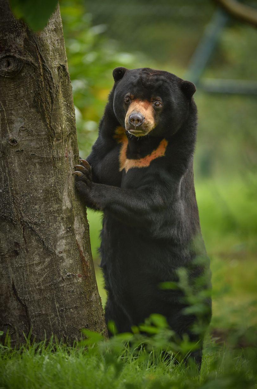 Sunbear Stuffed Animal, Malayan Sun Bear Helarctos Malayanus Malayanus Malayan Sun Bear Bear Stuffed Animal Bear Pictures