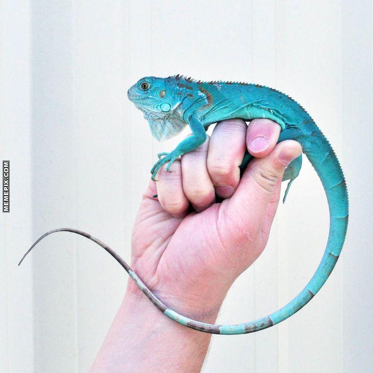 The Rare Blue Iguana Of Caymans