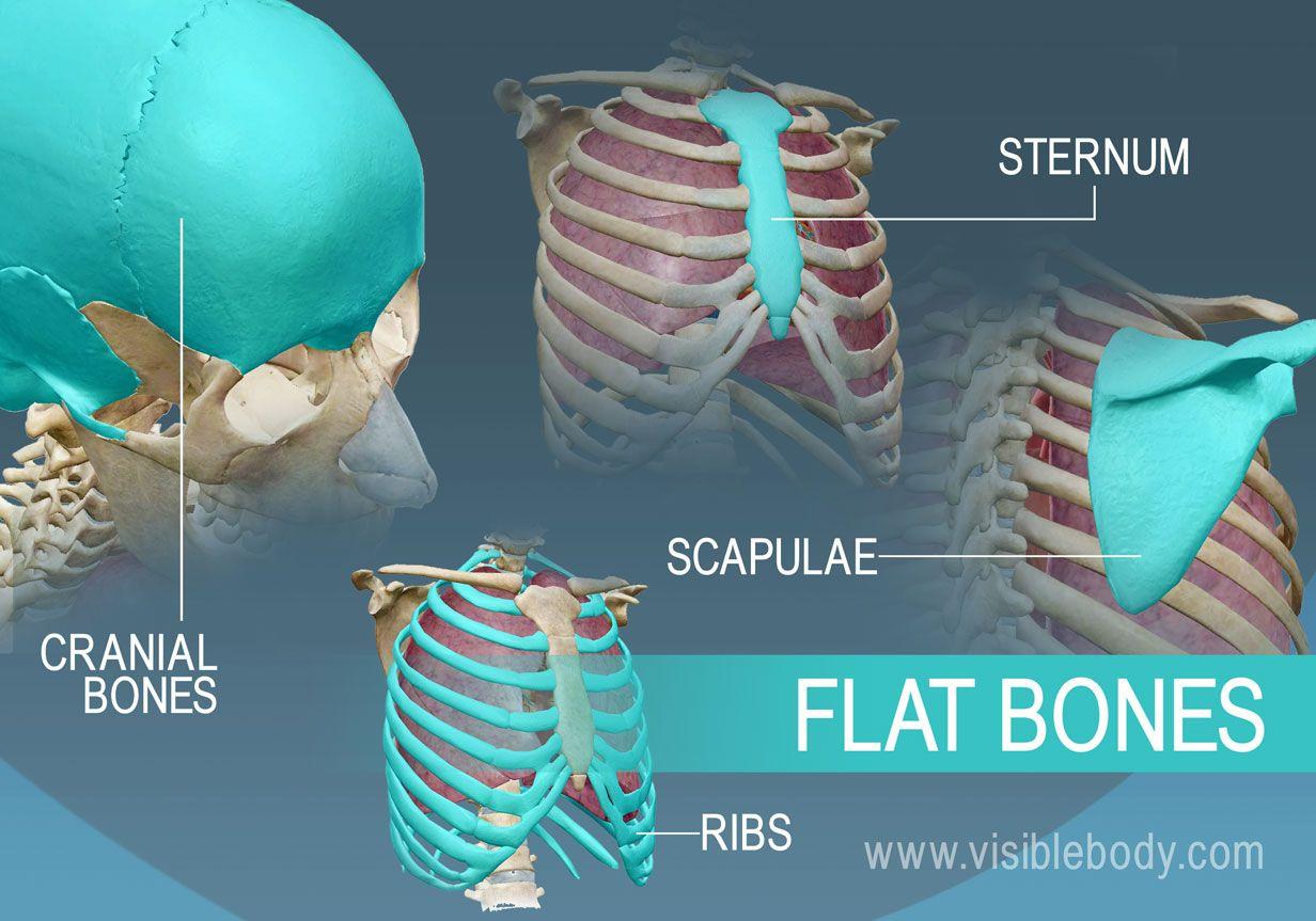Example Of Four Types Of Flat Bones