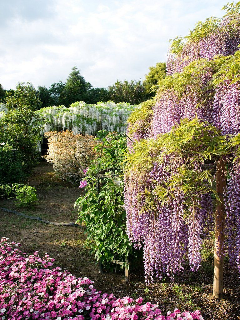 Wisteria Hashikaga Flower Park Beautiful Flowers Pinterest