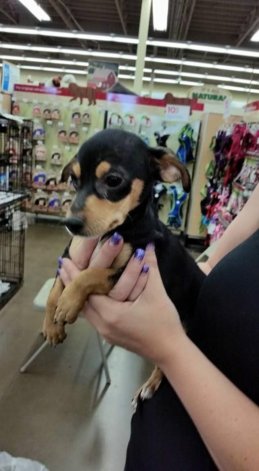 Meet Wednesday A Petfinder Adoptable Miniature Pinscher Dog Fresno Ca Our Dogs Are Available For A Miniature Pinscher Dog Dog Adoption Miniature Pinscher