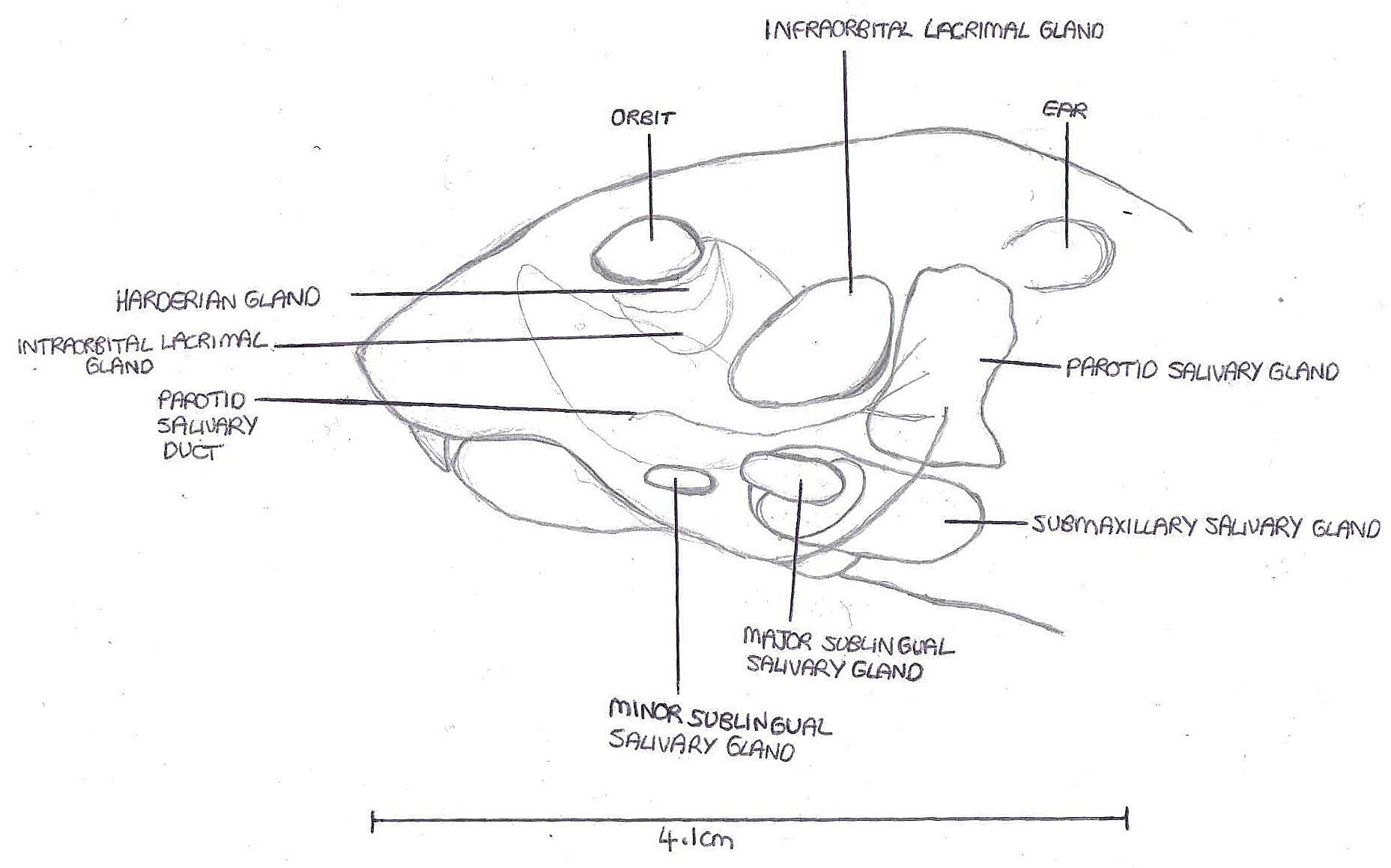 Salivary Glands Of A Rattus Specimen Salivary Gland Zoology Vertebrates And Invertebrates