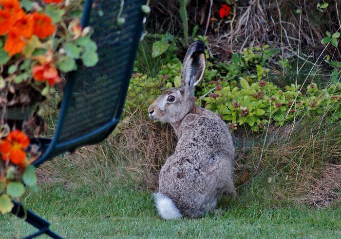 Long-eared hare visited the garden. You fancy cress? Maarit Siitonen