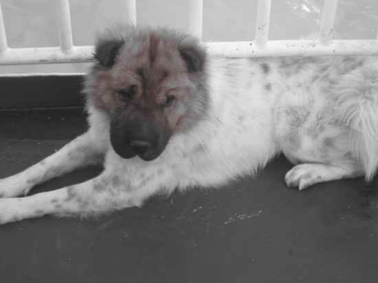 Chow Chow X Shar Pei Dogs Breeds Mixed Breed