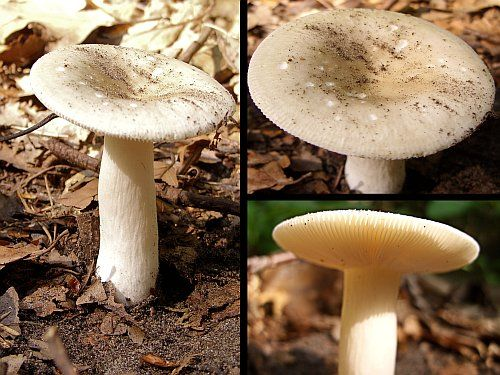 Sierlijke Russula - Russula gracillima. - Foto gemaakt door pinterester Adri v.d.S - Bord Paddenstoelen - PLAATJESZWAMMEN M-Z - Mushrooms