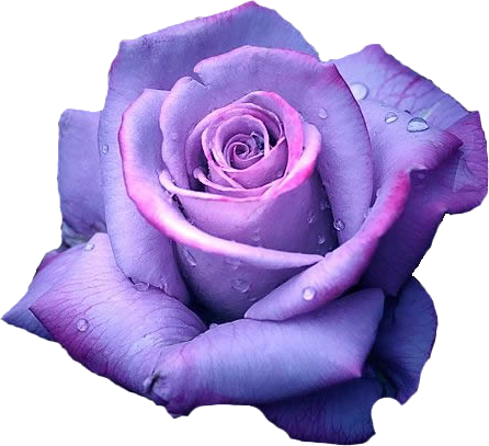 single purple rose - G...