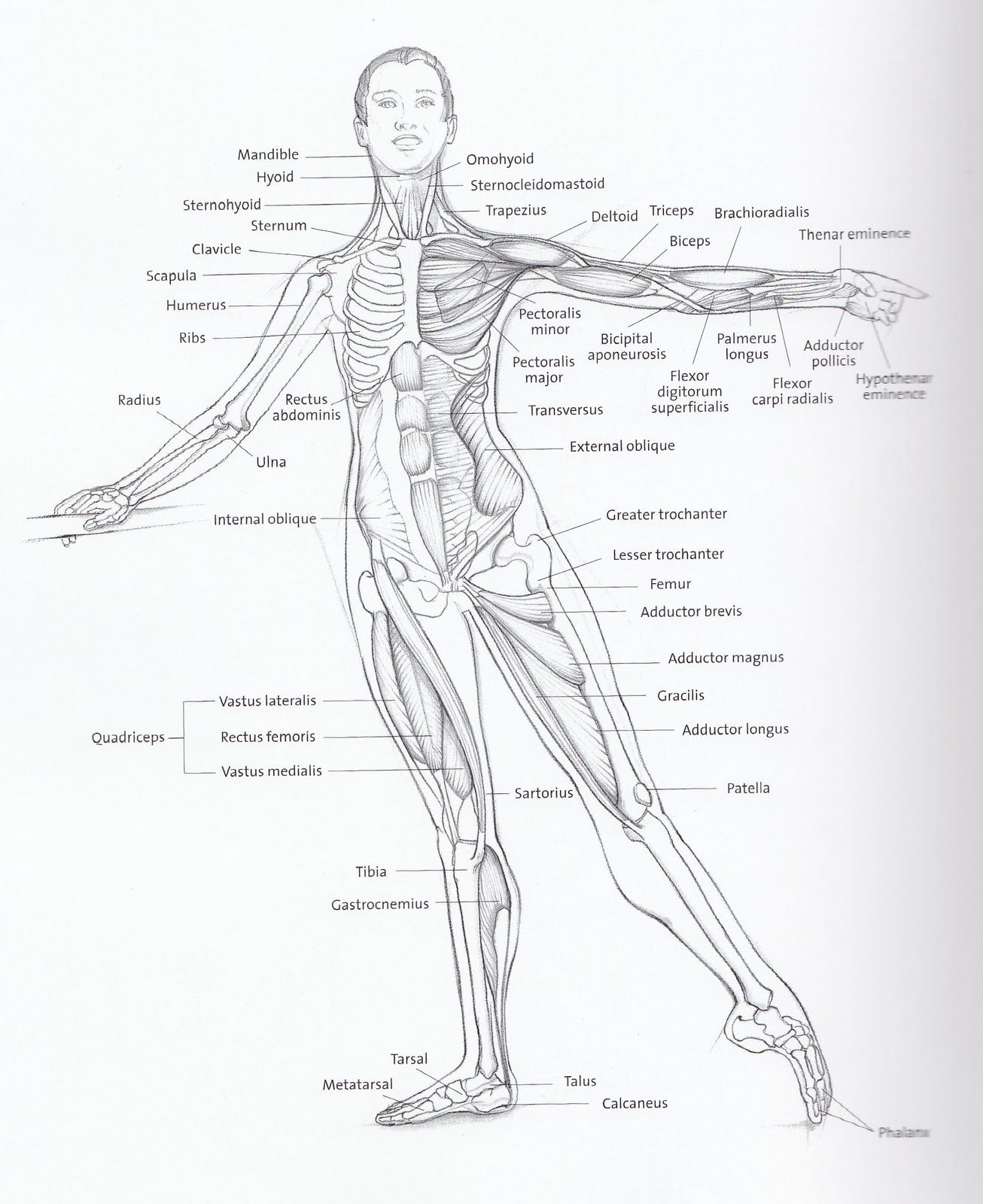 Basic anatomical diagram including bones and major muscle groups for ...
