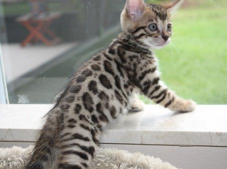 Bengal Kitten With Big Rosettes With Images Bengal Kitten