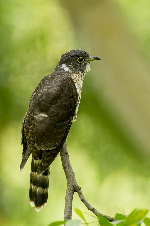 Malaysian Hawk Cuckoo Allan Seah Malaysian, Pets, Cuckoo