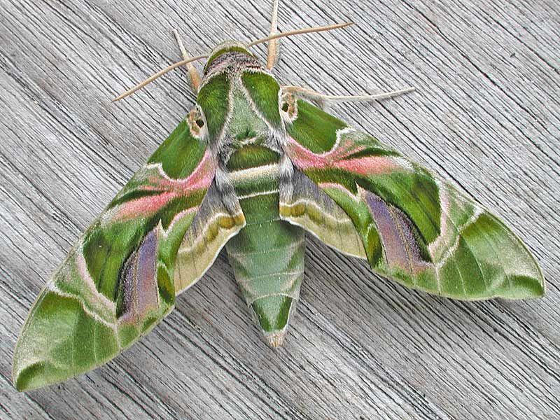 Daphnis Nerii Oleander Hawk Moth Schmetterling Turkei Kroatien Schone Schmetterlinge