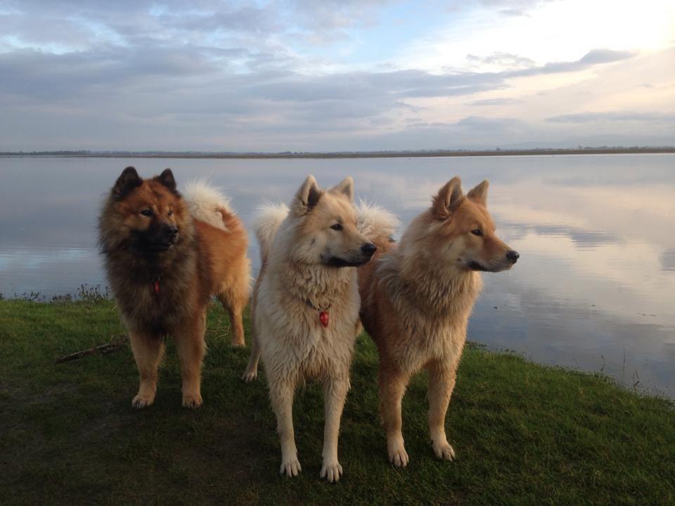 Northlakes Eurasiers Family Dogs Cute Animals Eurasier