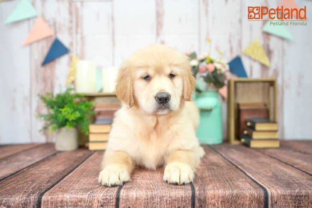 Puppies For Sale In 2020 Puppy Friends Puppies Golden Retriever
