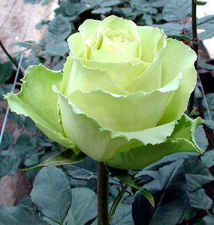 very cool green rose, I can find these at the Farmer's Mkt for $9/dz