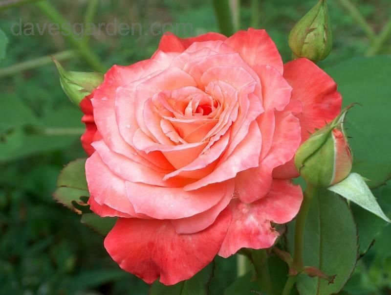 Rose Wikipedia The Free Encyclopedia A Rose Is A Woody Perennial Of The Genus Rosa Within The Family Rosaceae D Hybrid Tea Roses Rose Varieties Tea Roses