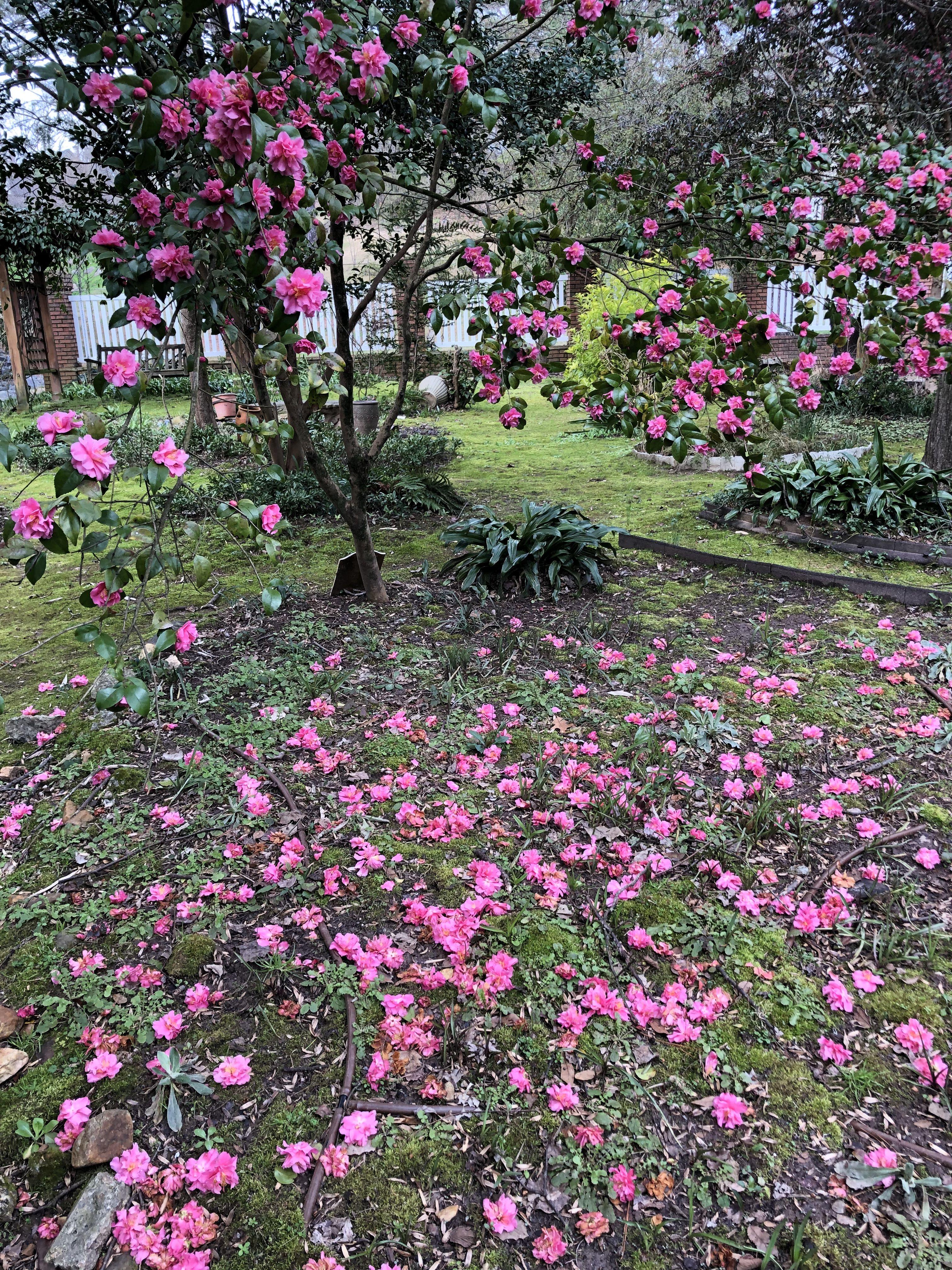 Camellia Lutchuensis Hybrid Fragrant Pink Camellia Fragrant Plants