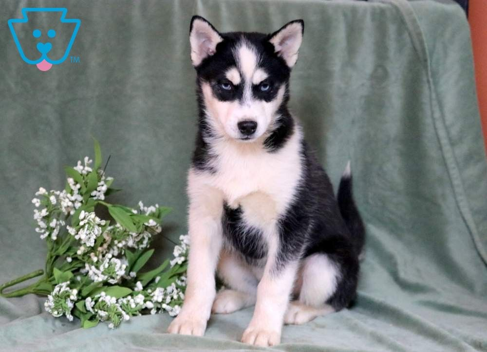 Flex Pomsky Puppies Pomsky Puppies For Sale Cute Animals