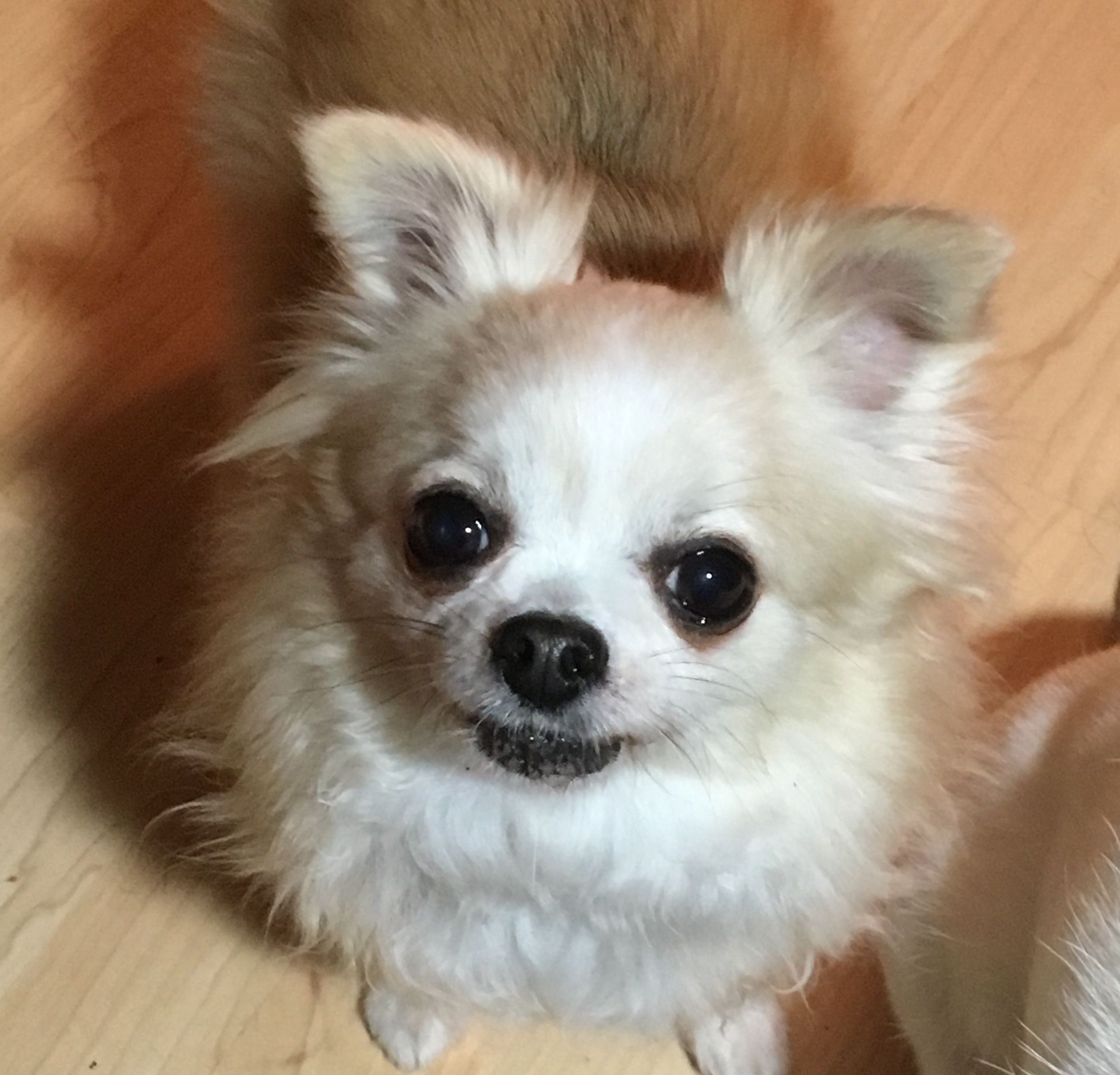 Cuteness Overload Chihuahua Animals Dogs