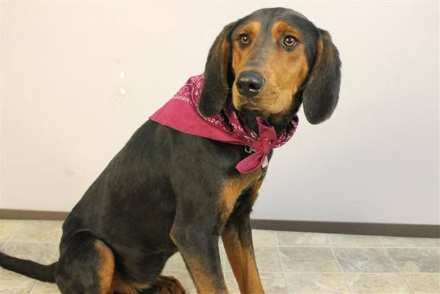Black Tan Coonhound M 1 Year 21854538 Named Keeler In Greenville Sc Greenville County Pet Rescue Poor Dog Animal Control Coonhound