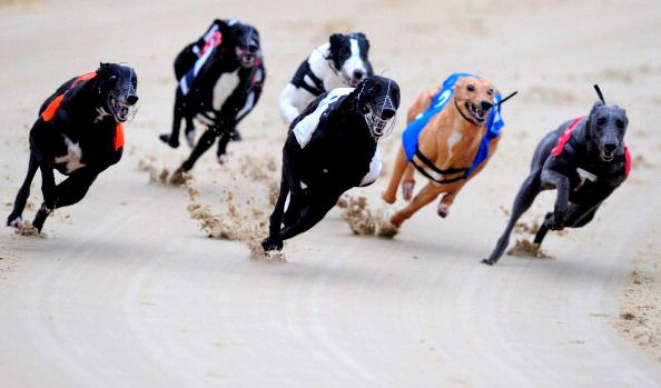 Greyhound Racing Banned In Colorado Greyhounds Racing Greyhound