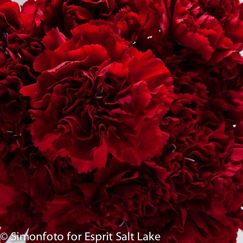 Amico Crimson Dark Red Carnation Carnation Colors Purple Carnations Red Carnation