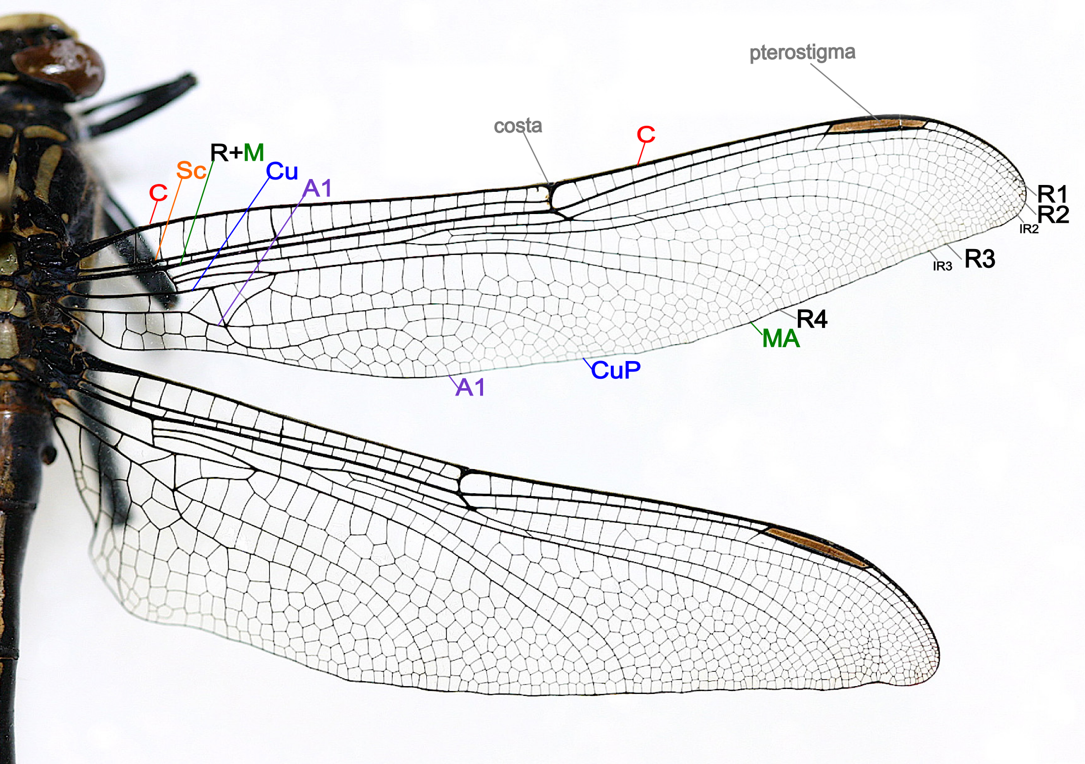 Anatomy of a dragonfly wing. | Artphysics | Pinterest | Dragonflies ...