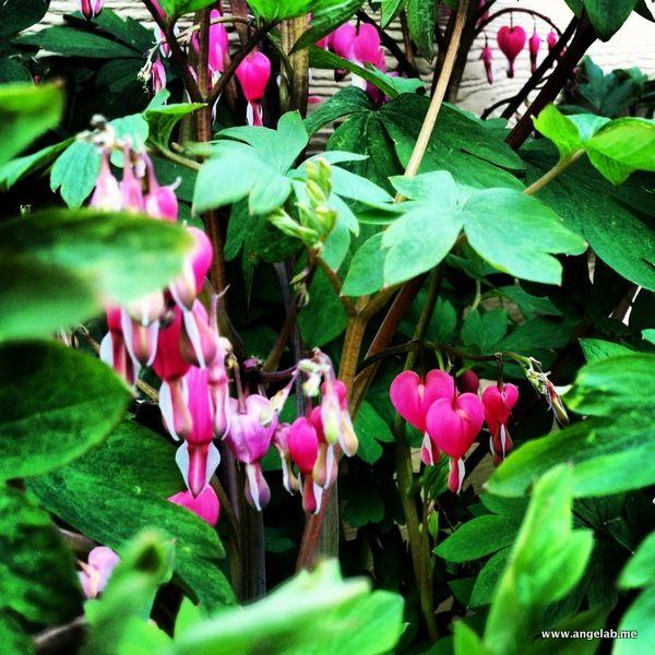 Bleeding Hearts Dicentra Spectabilis This Is A Fabulous Shade Perennial Here In Southeastern Wiscon Backyard Plants Shade Perennials Shade Garden