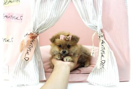 ♥♥♥ Teacup Pomeranians!! ♥♥♥ Bring This Perfect Baby Home Today! Call 954-353-7864 www.TeacupPuppies... ♥ ♥ ♥ TeacupPuppiesStore - Teacup Puppies Store Tea Cup