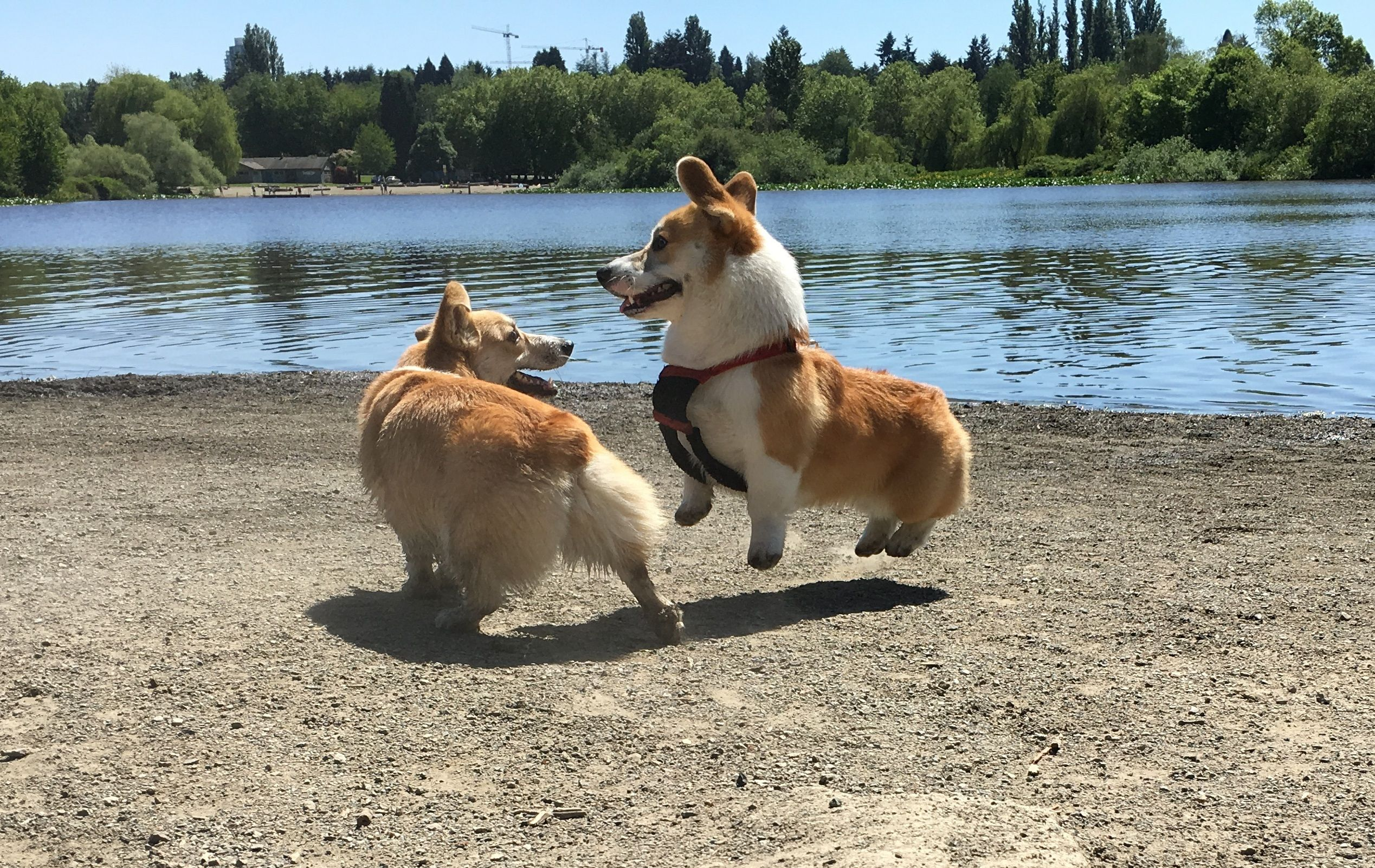 12 Corgis Whose Magical Fluffy Butts Give Them The Power Of