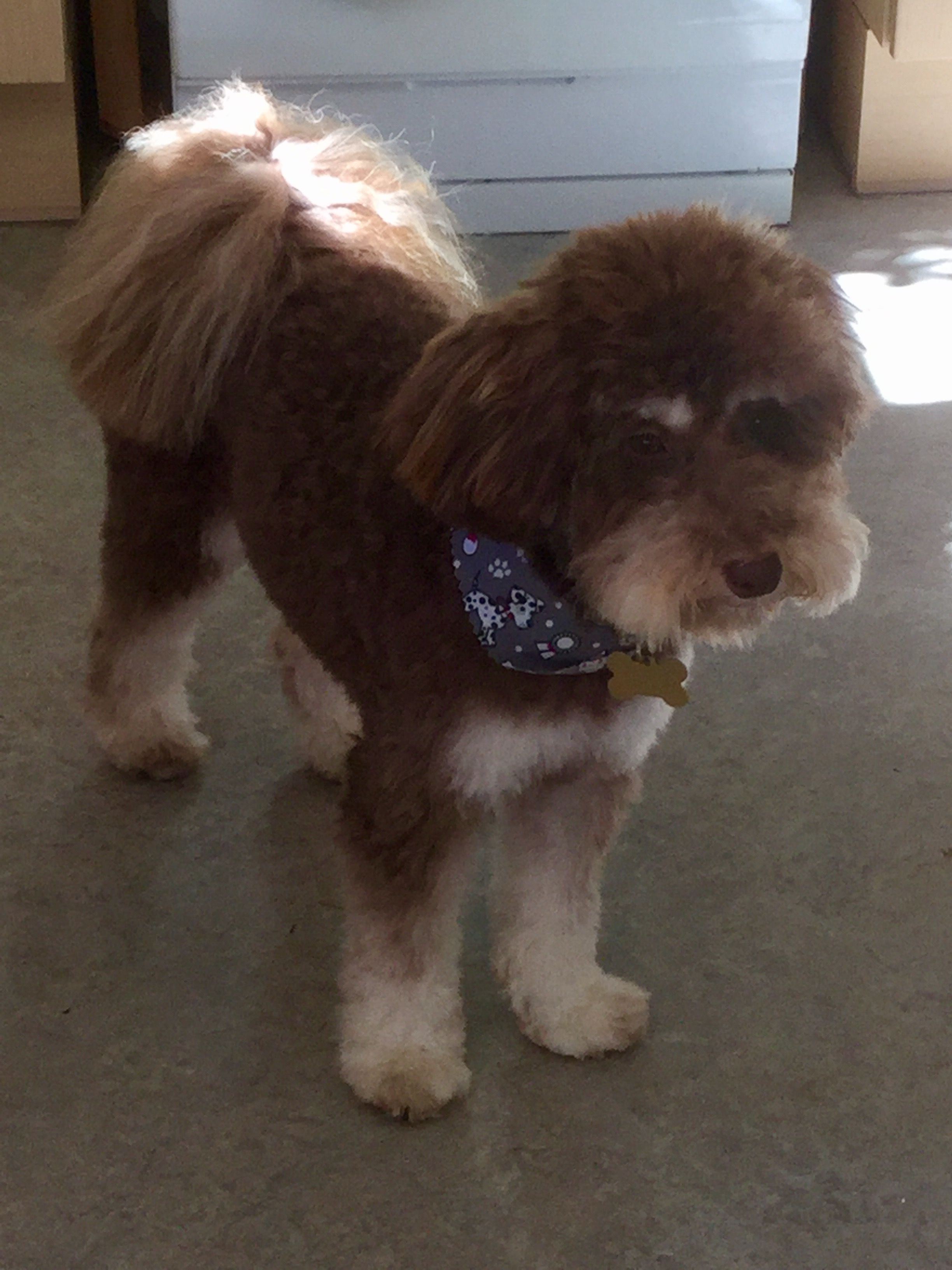 Ralph S Had A Haircut Now He Looks Like A Toy Poodle Toy