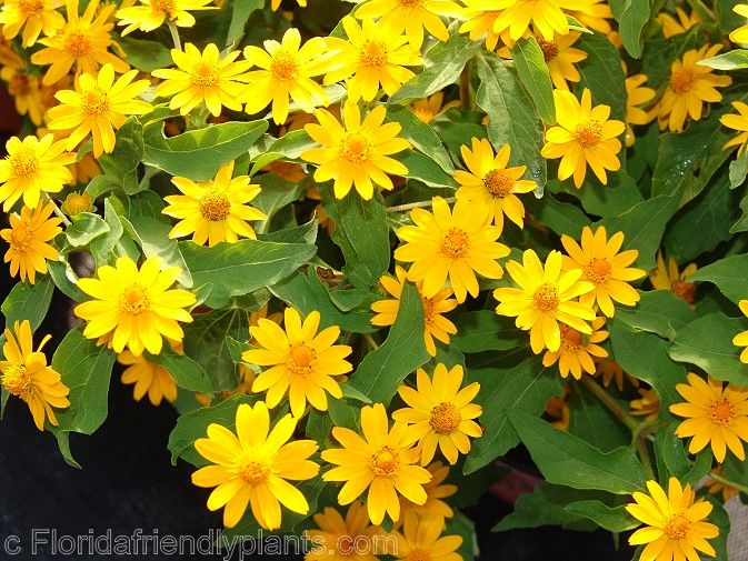 Melampodium Is Always A Good Choice For Your Garden Color