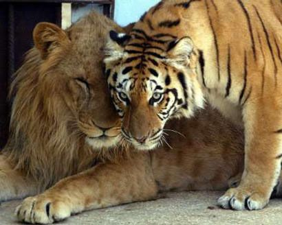 Lions Vs  Tigers: REAL King of Beasts | All about Tigers and other