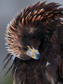 atomism:  Golden Eagle by Olof Petterson