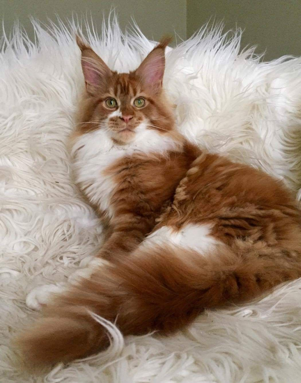 Pin Von Jane Stanczyk Auf 1maine Coons And Norwegian Forest Cats