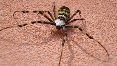 Il ragno vespa argiope bruennichi scopoli 1772 una - Colorazione pagina di tigre ...