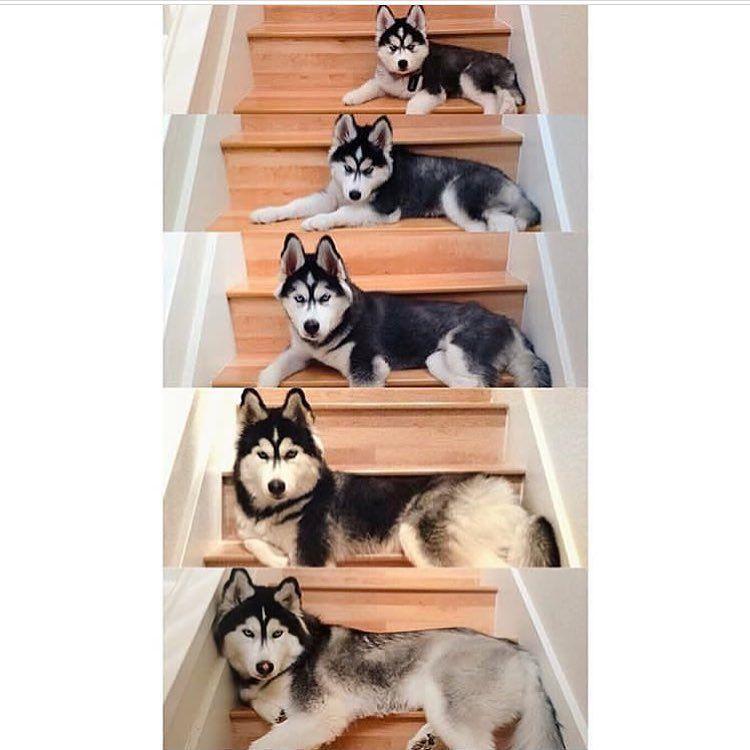 7 855 Likes 51 Comments Siberian Husky Officialhuskylovers
