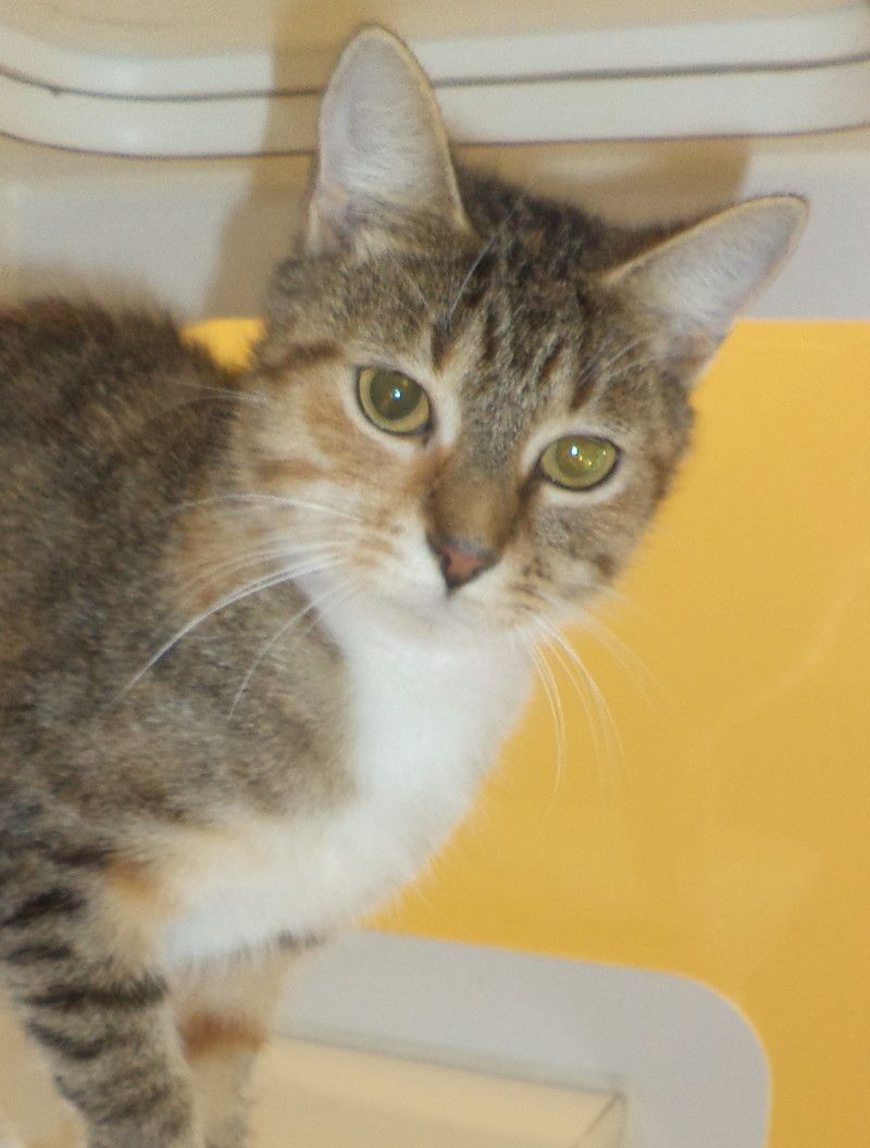 Cutie Pie Tabby Minnie Pearl Akron Ohio Is Waiting For A Loving Home Adopting A Friend Dogs And Puppies Are 90 00 76 00 For The Adoption Adoptar