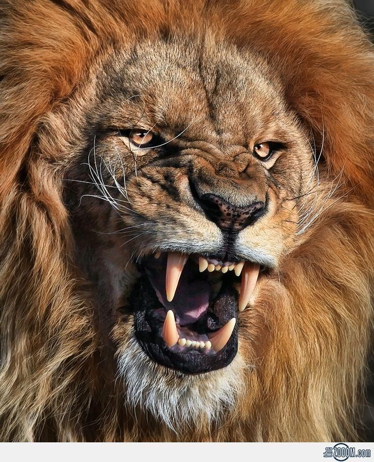 pin lion hd 3 - photo #20