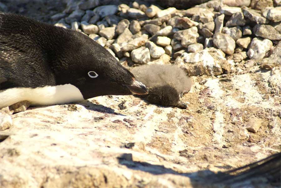 Mueren miles de crías de pingüinos en la Antártida por inusuales niveles en los bancos de hielo