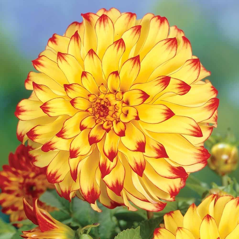 1 Dahlia Lady Darlene Yellow Red Color Flower Bulb Perennial Summer