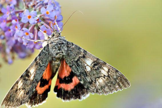 2015 Rotes Ordensband Schmetterling Insekten Falter
