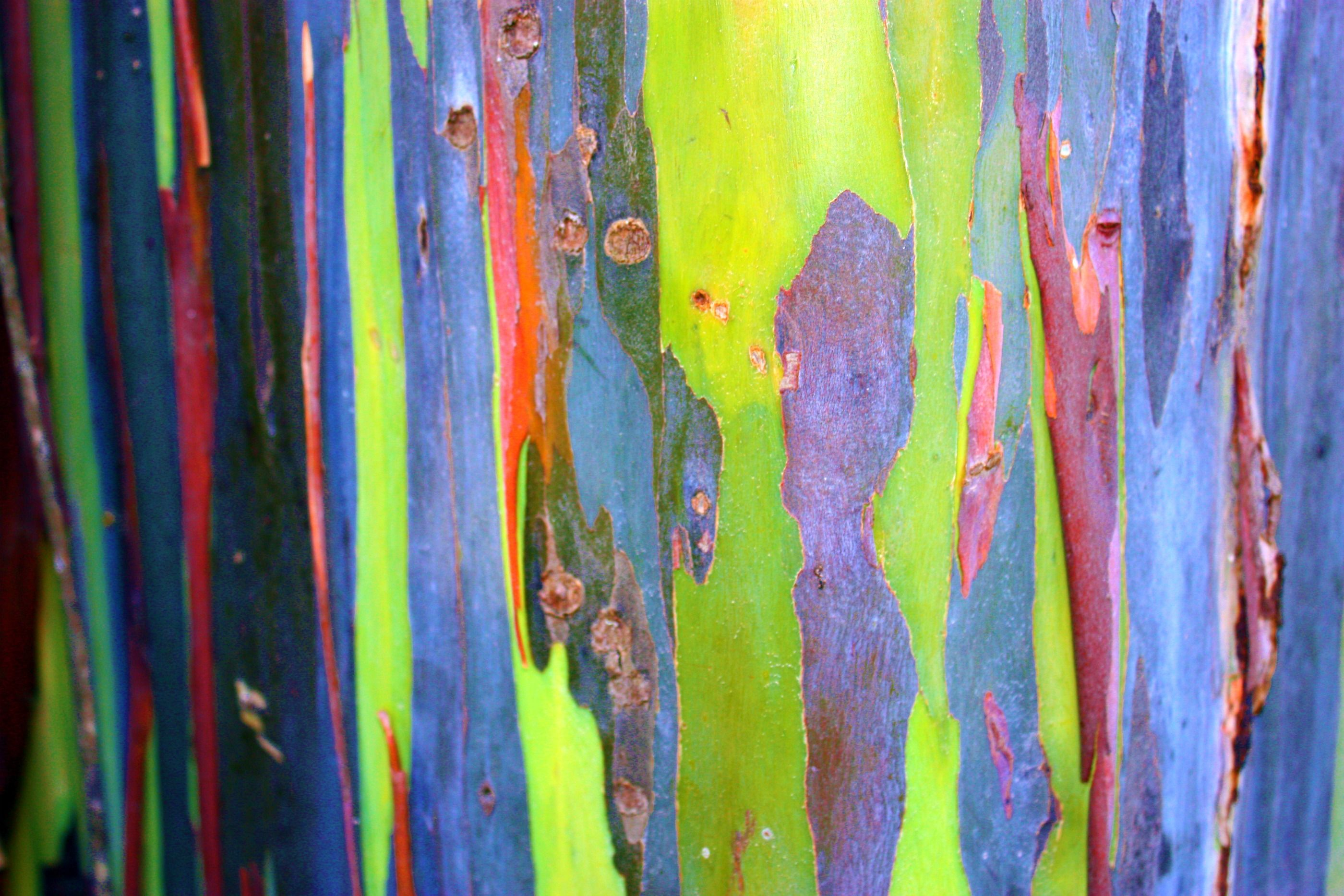 Eucalyptus Bark by AngelAK47. Real colors of the bark. | Trees and ...