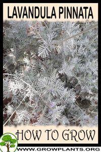 Photo of Lavandula pinnata – How to grow & care