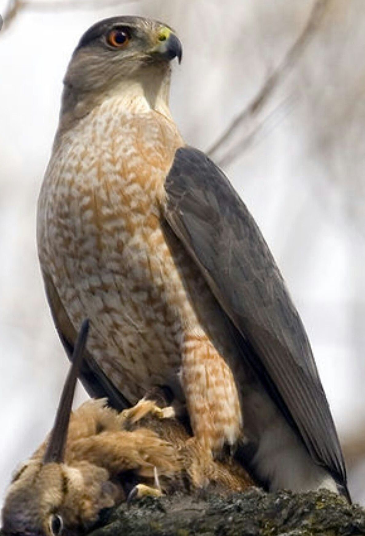 Epervier De Cooper Cooper S Hawk Accipiter Cooperii Birds Of Prey Backyard Birds Beautiful Birds
