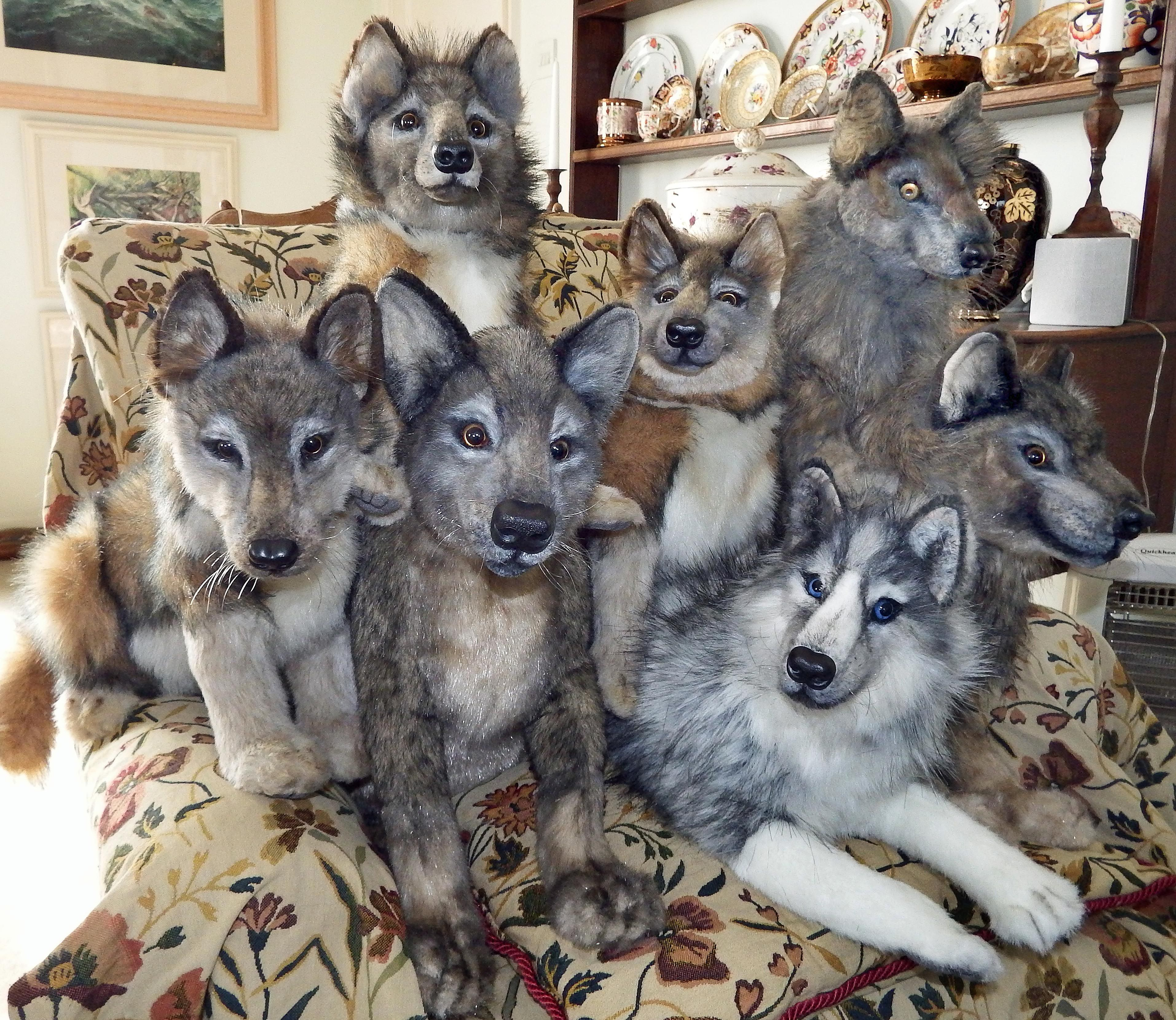 My stuffed wolf pack family have adopted a Siberian husky ...