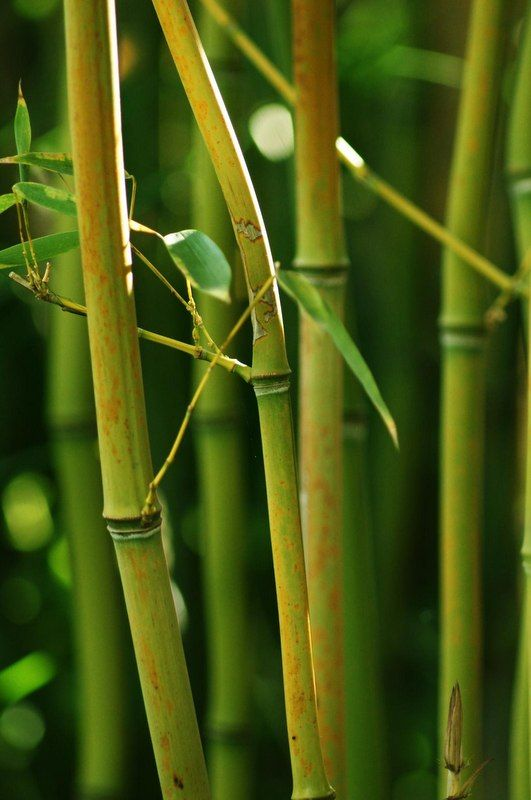 Bamboo Wallpaper Hd : bamboo, wallpaper, Wallpapers, Mobile, Widescreen, Bamboo, Plants,, Growing, Trees,, Wallpaper