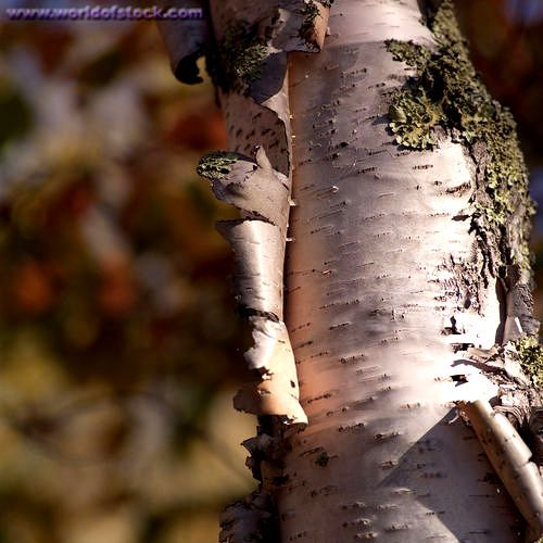 Ntr1439 Jpg 500 500 Pixels Birch Bark Outdoor Medicinal Wild Plants